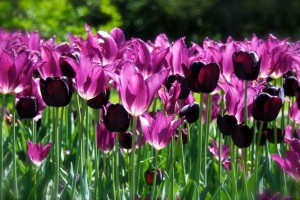 Tulips pink and black]